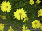 Yellow daisy flowers close up