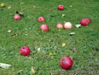 Red apples lying on ground
