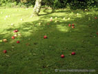 Apples fallen on ground by tree