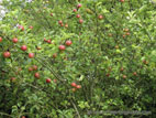 Red Discovery apples on tree