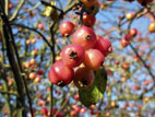 Red crab apples against blue sky