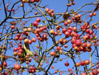 Ripe crab apples on tree with blue sky