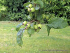 Crab apples setting on tree