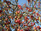 Mass of crab apples ripening on tree