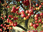 Crab apples hanging on tree