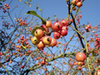 Ripe crab apple fruit on tree