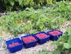 Raspberries in punnets