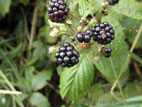Blackberries on briar close up