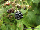Large blackberry on briar close up