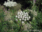 Cow Parsley in flower close up