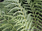 Fine leafed fern close up