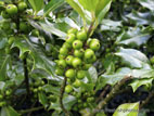 Green holly berries close up