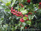 Holly with lots of red berries