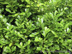 Large laurel hedge close