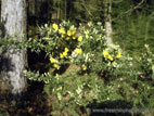 Yellow whin flowers in winter sun