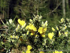 Yellow gorse flowers close up