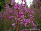 Pink willowherb in flower close up