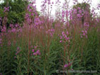 Pink willowherb in flower