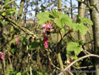 Bumblebee on flowering currant bush