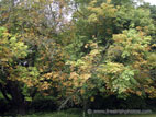 Chestnut tree with autumn coloured foliage