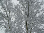 Birch trees covered in snow