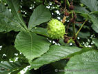 Chestnut growing on tree close up