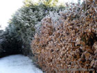 Beech hedge in winter with frost on leaves