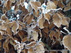 Cloase up of beech hedge in winter with frost on leaves