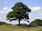 Lone sycamore tree on summer day with blue sky