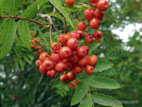 Rowan tree berries and leaves close up