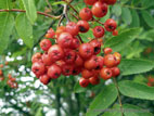 Mountain Ash tree berries and leaves close up