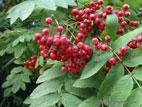 Mountain Ash tree berries and leaves