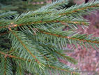 Close up of Spruce needles