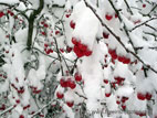 Red crab apples covered in snow