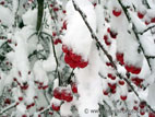 Crab apples covered in snow