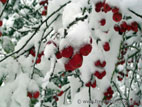 Red crab apples in snow